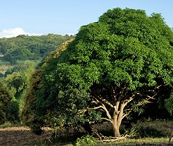 Mangoholz Mangobaum